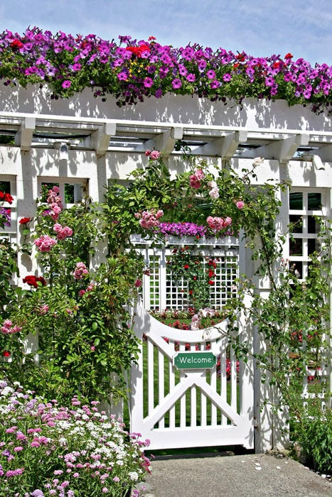 White lattice fence with flowering roses